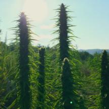 cannabis_IMG_6323