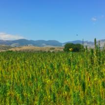 cannabis_IMG_6736