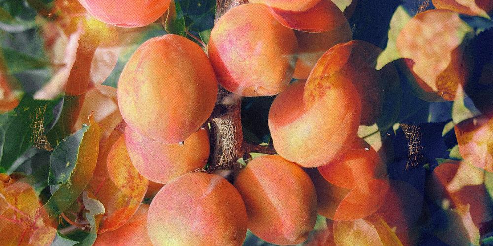 Ladakh's Sweet Apricot